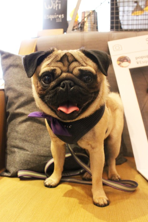 pug in purple bowtie at pop up pug cafe