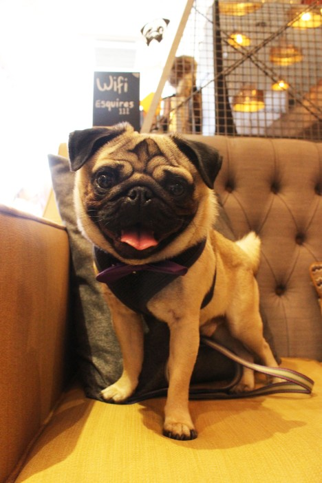 pug in bowtie at pop up pug cafe
