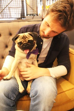 pug boy sits on owners lap at pop up pug cafe