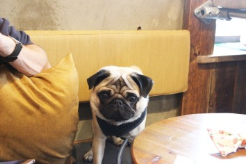 pug sits at pop up pug cafe
