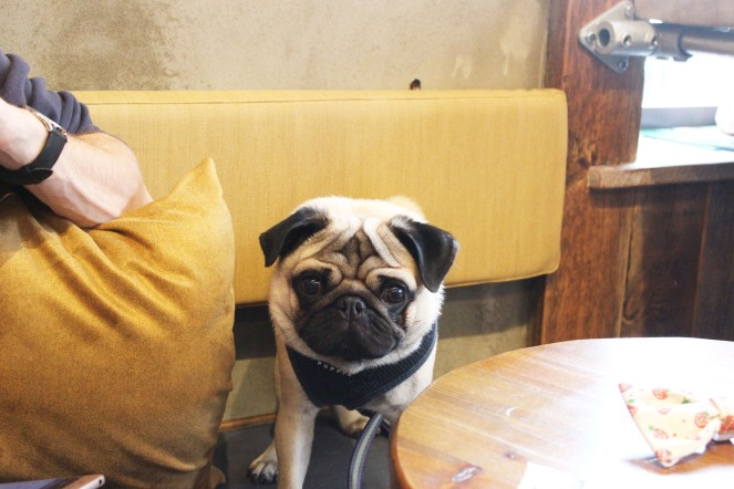 pug sits at pop up pug cafe