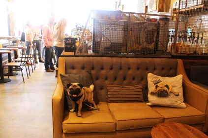 pug on the sofa at pop up pug cafe