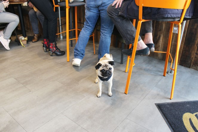 pug at pop up pug cafe