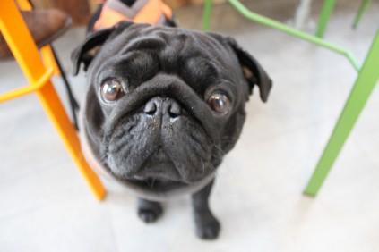 black pug at pop up pug cafe