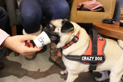 pug drinks puguccino at pop up pug cafe