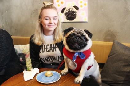 pug boy enjoys himself at pop up pug cafe
