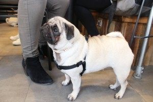 fawn pug wearing pearls at pop up pug cafe