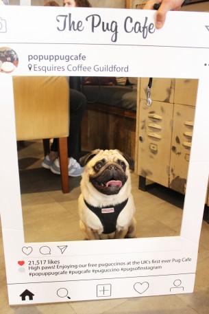 fawn pug at pop up pug cafe