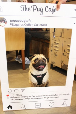 fawn pug at pop up pug cafe