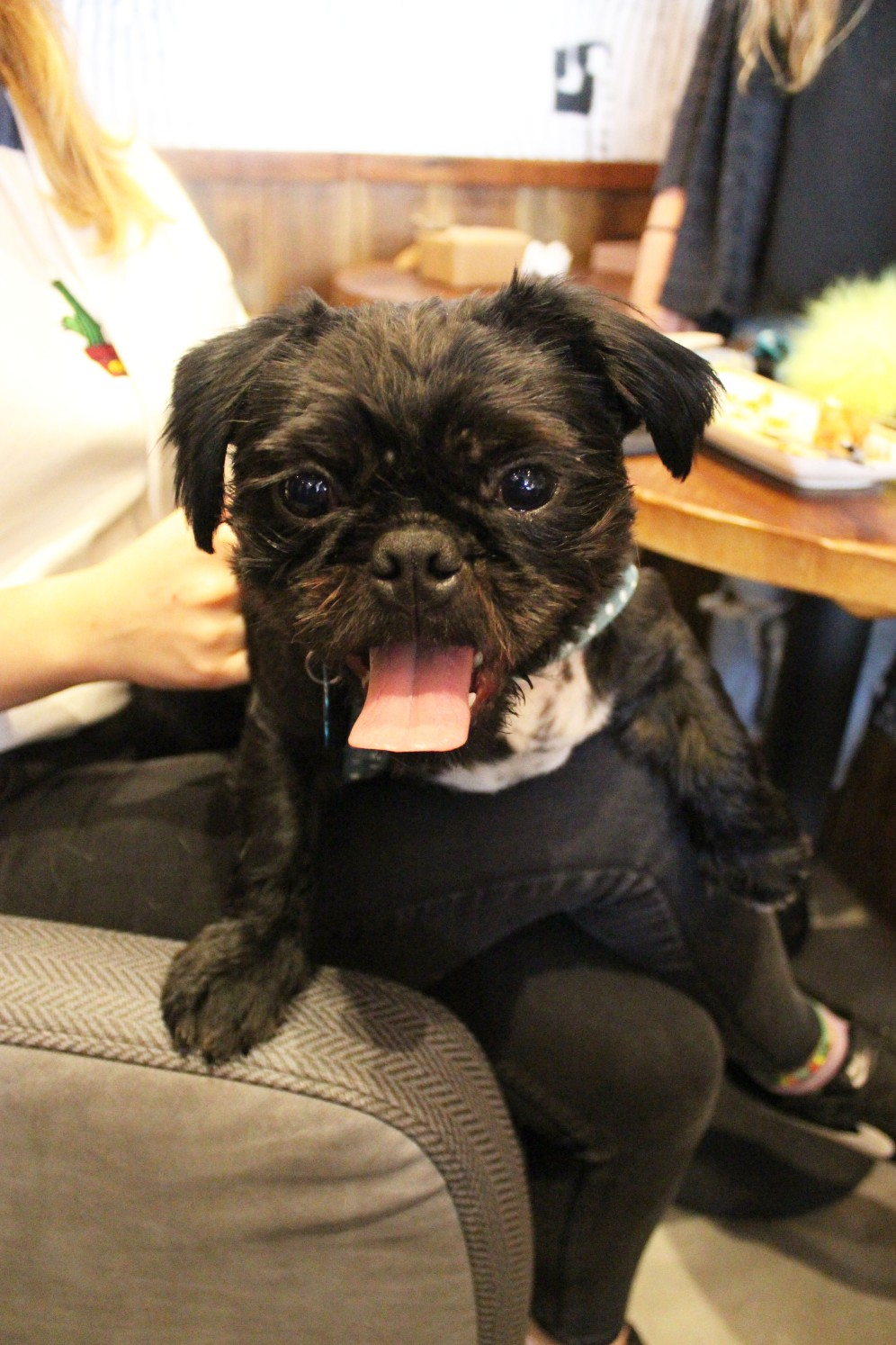 pug cross sitting at pop up pug cafe