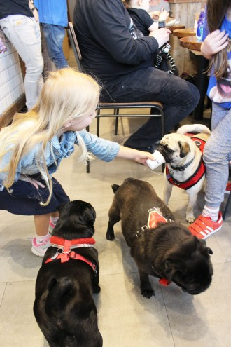 girl feeds pugs puguccino at pop up pug cafe