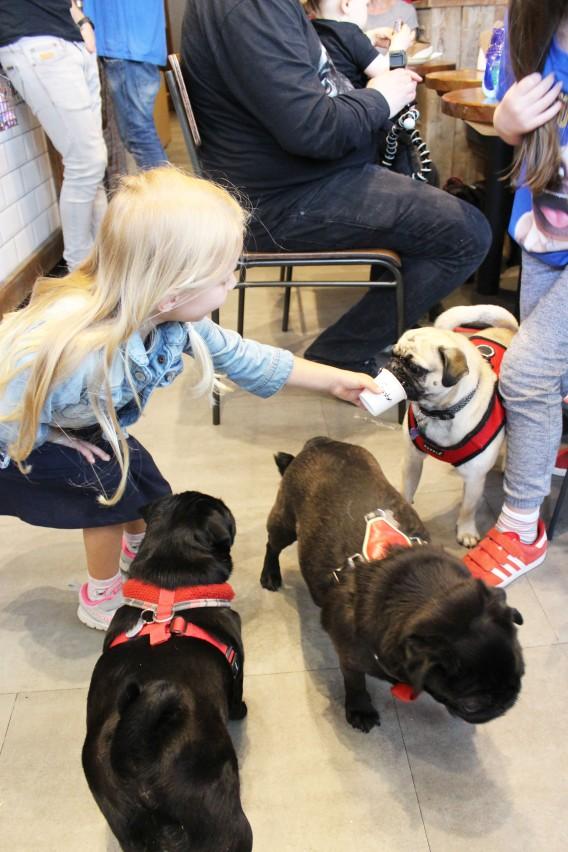 girl feeds pugs puguccino at pop up pug cafe