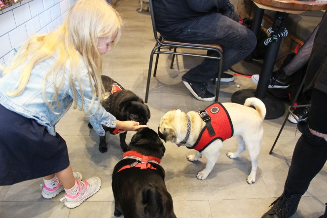little girl feeds pugs puguccino at pop up pug cafe
