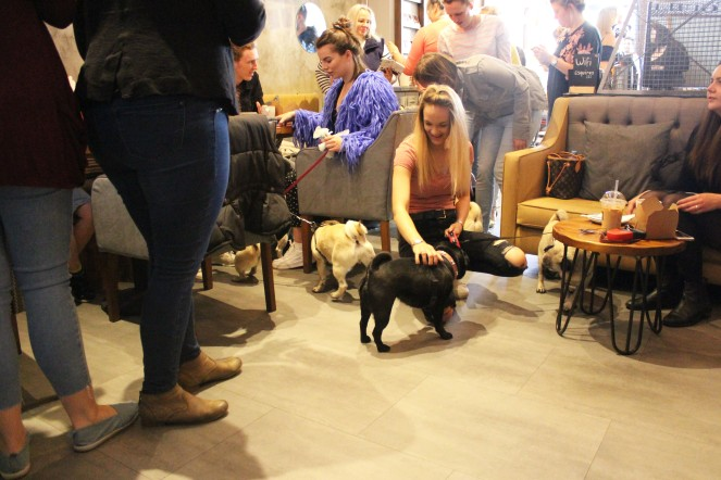 girl strokes pugs at pop up pug cafe