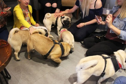 group of pugs at pop up pug cafe