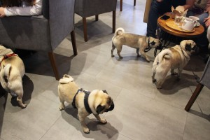 pugs playing at pop up pug cafe