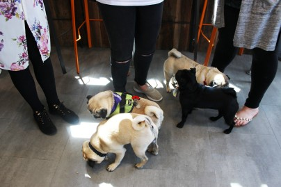 pugs sniff around at pop up pug cafe