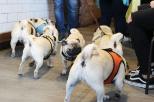 grumble of pugs play at pop up pug cafe