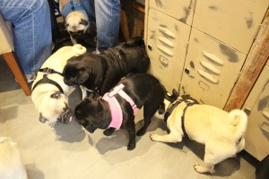 a grumble of pugs sniffing at pop up pug cafe