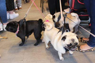 a grumble of pugs at pop up pug cafe