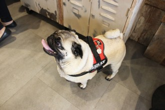 pug with tongue out at pop up pug cafe