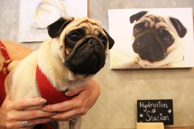 beautiful pug boy with pug art at pop up pug cafe