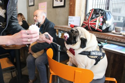 owner feeds her pug at pop up pug cafe
