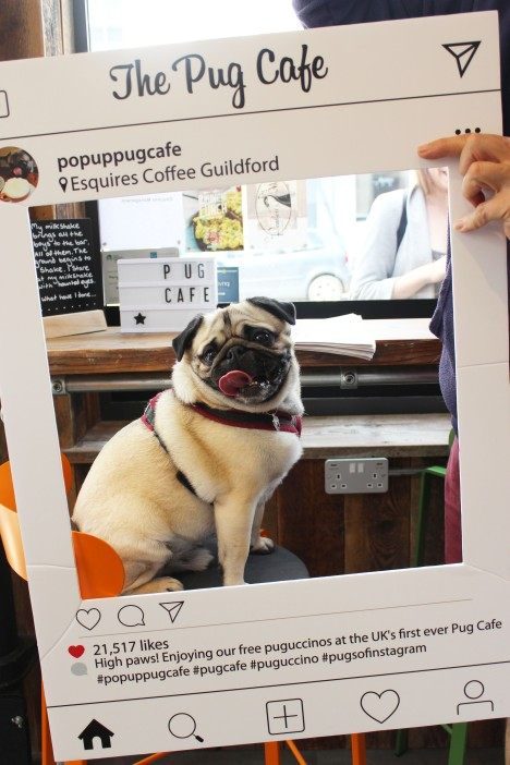 smiling pug at pop up pug cafe