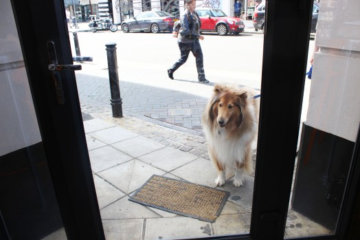 collie want to join pop up pug cafe