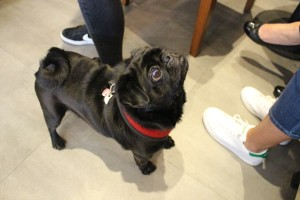 black pug looks up at pop up pug cafe