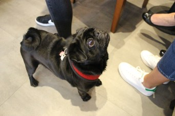 black pug looks up at pop up pug cafe