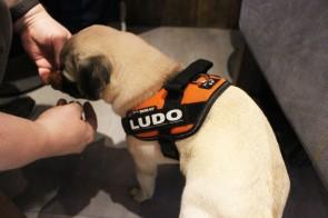 pug puppy at pop up pug cafe