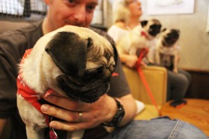 cute pug at pop up pug cafe