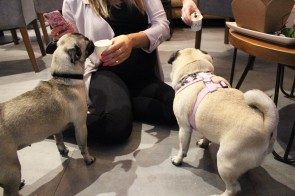pugs on the floor at pop up pug cafe