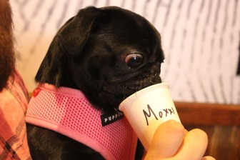 black pug with snout in a cup at pop up pug cafe