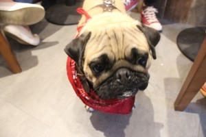 pug after his puguccino at pop up pug cafe