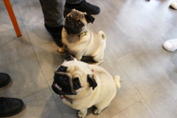 two pugs sitting nicely at pop up pug cafe