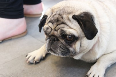 old pugs lies takes a break at pop up pug cafe