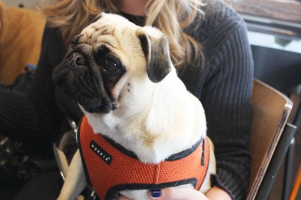 beautiful pug boy at pop up pug cafe