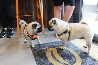 two pugs play at pop up pug cafe