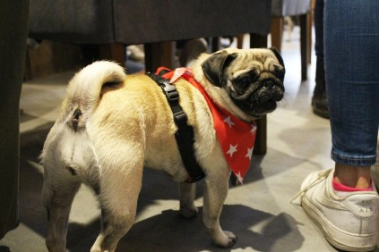 pug in star bandana at pop up pug cafe