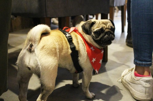pug in star bandana at pop up pug cafe