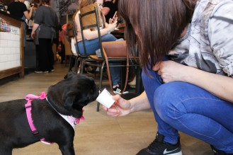 owner feeds their pug at pop up pug cafe