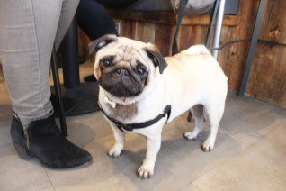 pretty pug in pearls at pop up pug cafe