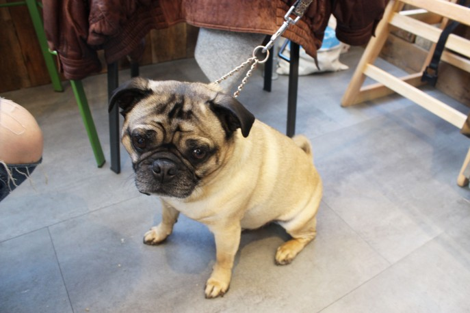 Percy the pug at pop up pug cafe