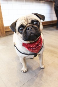 pug in bandana at pop up pug cafe