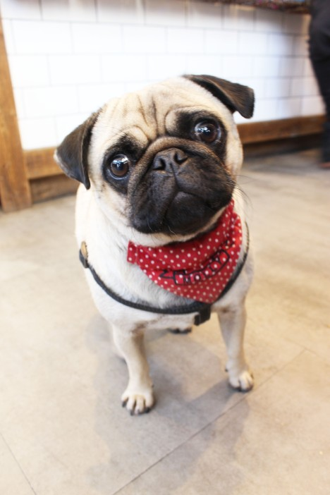 pug in bandana at pop up pug cafe