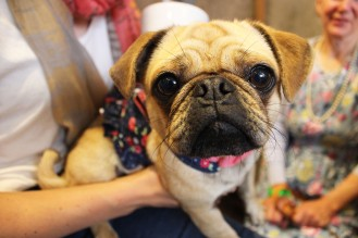 lovely pug cross at pop up pug cafe