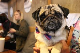 cutest pug cross at pop up pug cafe