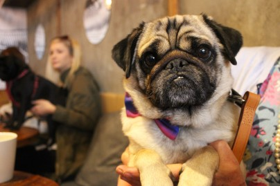 cutest pug cross at pop up pug cafe